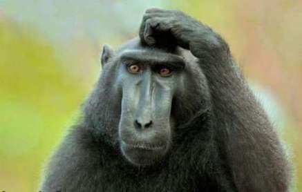 Weiss-monkey-image