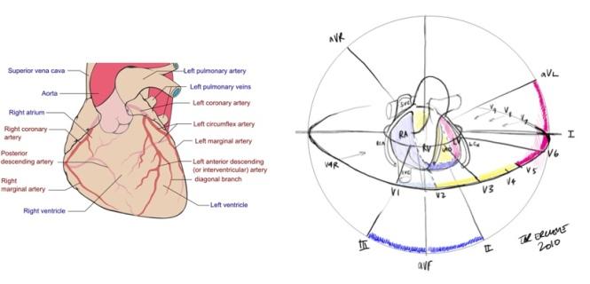 ECG versus coronary arteries