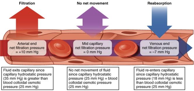 oncotic pressure versus hydrostatic pressure